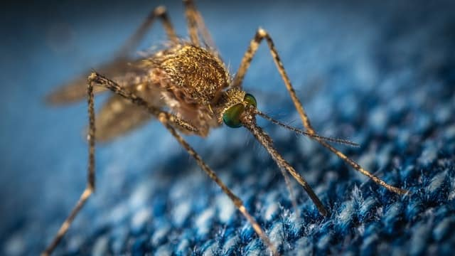 Un moustique qui tente de piquer quelqu'un