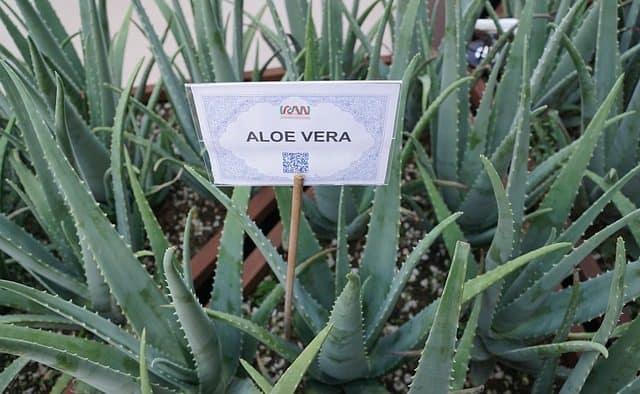 Planter l'aloe vera chez soi ou dans son jardin est facile
